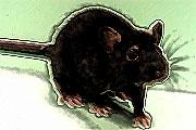 Κινέζικο Ωροσκόπιο - Ποντικός