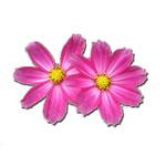 Κινέζικη Αστρολογία και Πολύτιμα Λουλούδια - Πετεινός, Αστέρι