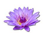 Κινέζικη Αστρολογία και Πολύτιμα Λουλούδια - Τίγρης, Βιολέτα
